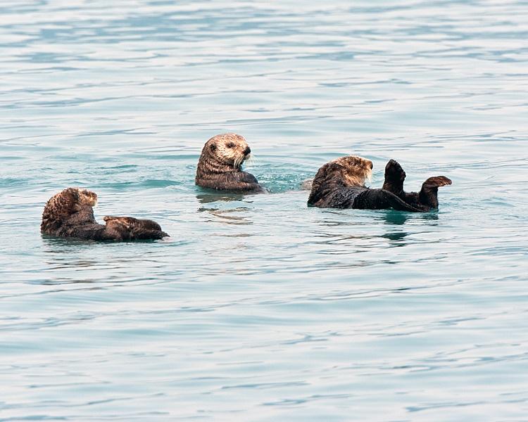Three Sea Otters in Prince William Sound.jpg