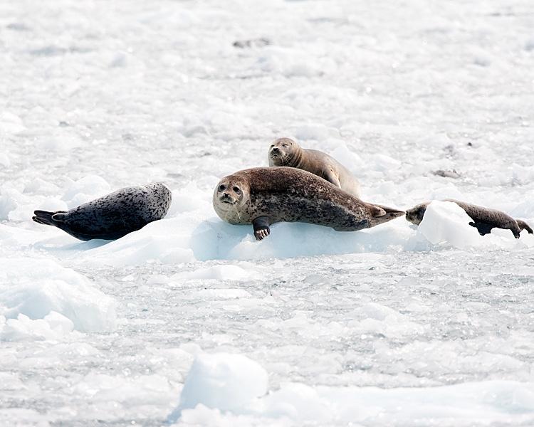 Harbor Seals at Benoit Glacier.jpg
