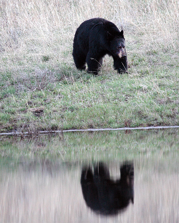 Black Bear Reflection at Phantom Lake 2.jpg