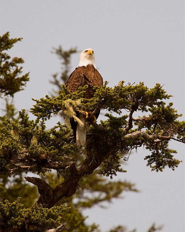 Bald Eagle in a Tree.jpg