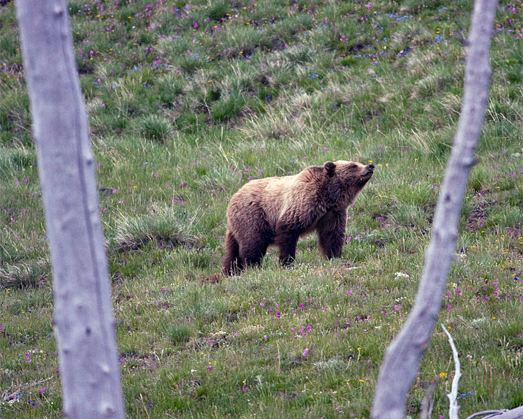Grizzly on Mt Washburn in the Wildflowers.jpg