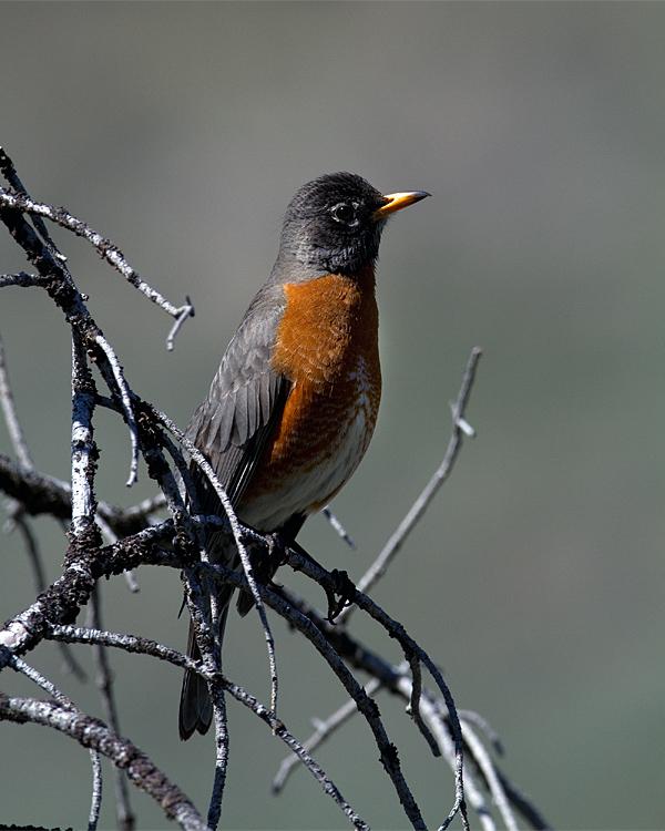 Robin on a Branch.jpg