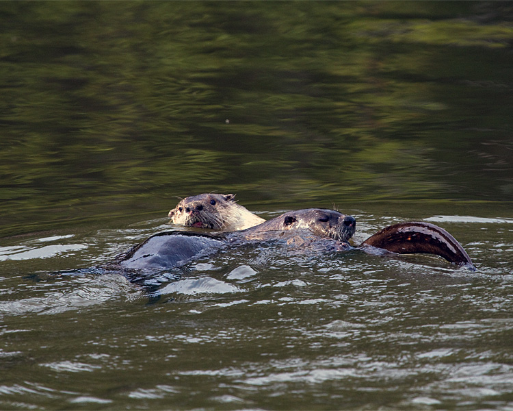 Two River Otters in the Water.jpg