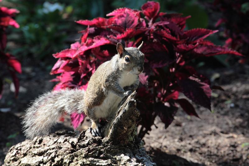 Bok Tower Squirrel.jpg