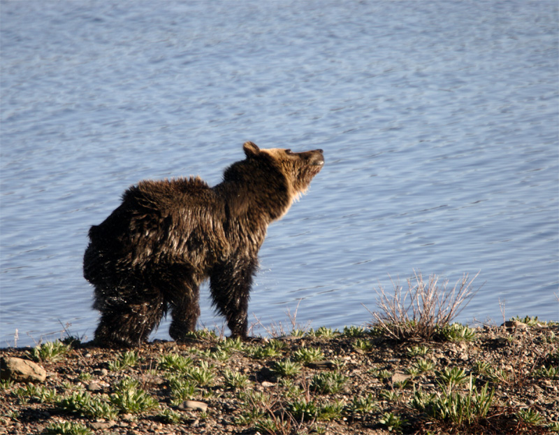 Grizzly Shaking Off after a morning swim.jpg