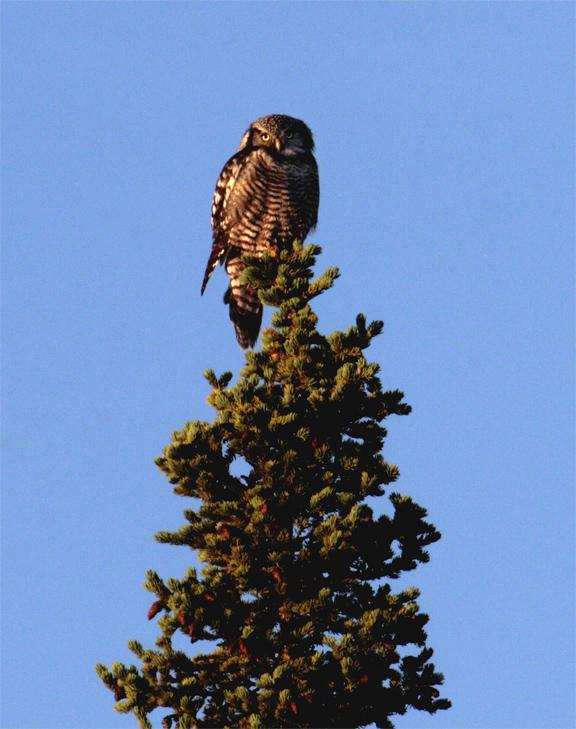 Hawk Owl at Denali.jpg