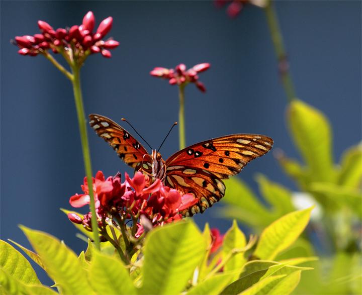 Orange Butterfly on red flower2.jpg