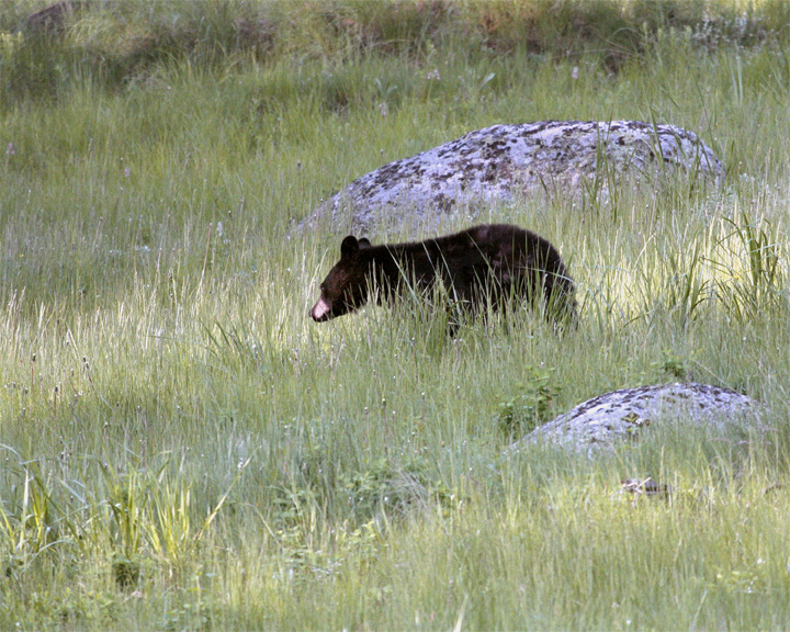 Black Bear on the Hill Between the Rocks Near Tower Junction.jpg