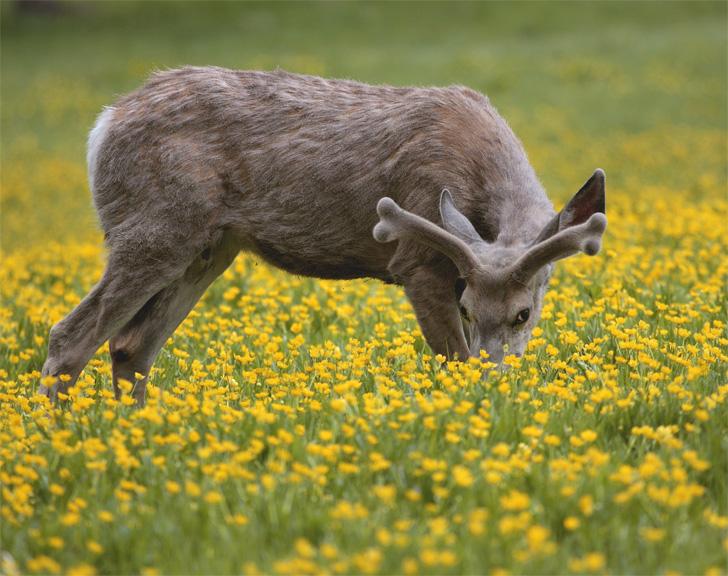 Deer in a Field of Flowers Munching Head Down.jpg
