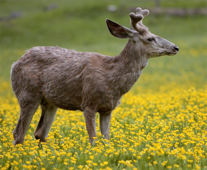 Deer in the Wildflowers 2.jpg
