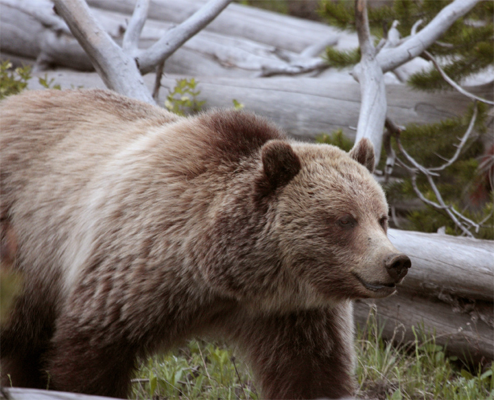 Mt Washburn Grizzly Heading Down the Hill Close.jpg