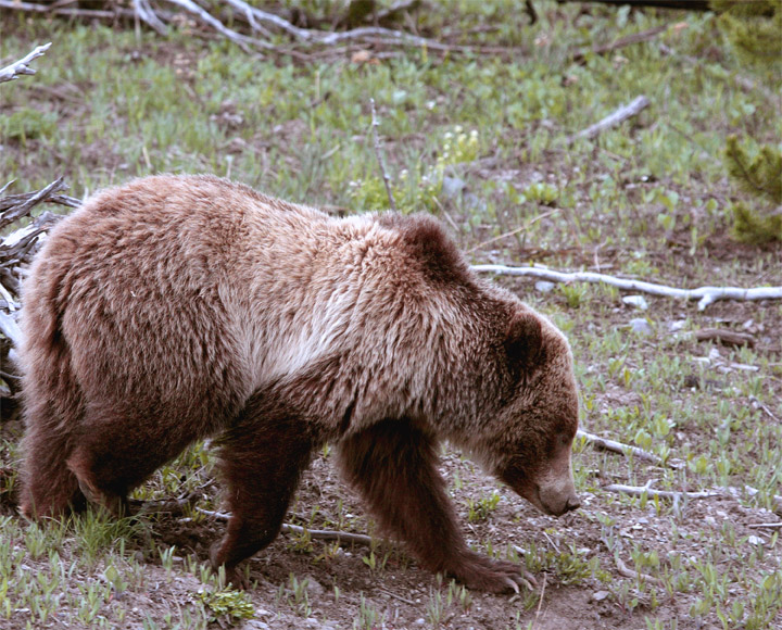 Mt Washburn Grizzly Heading for the Road.jpg