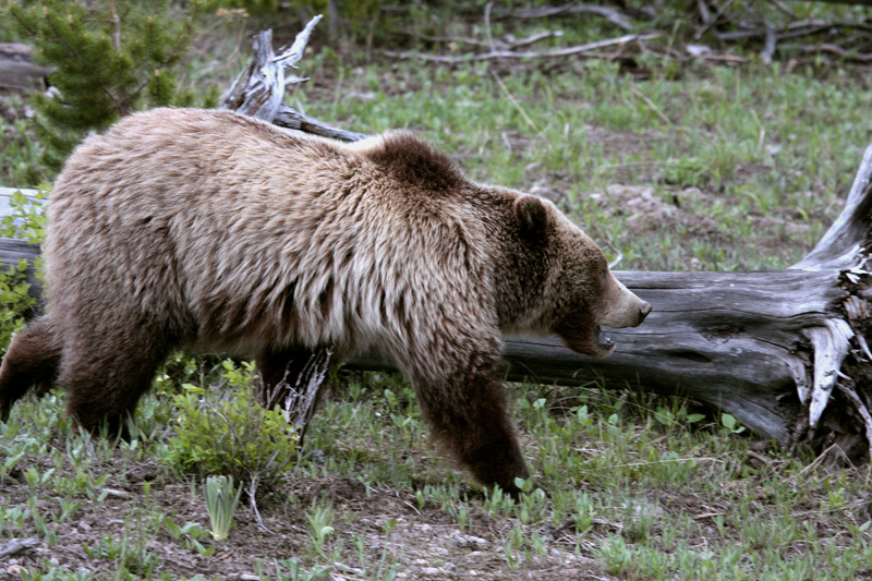 Mt Washburn Grizzly Running Past Downed Tree.jpg