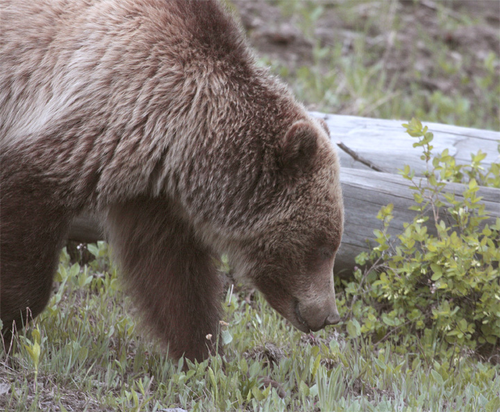 Mt Washburn Grizzly Sniffing Out Grubs.jpg