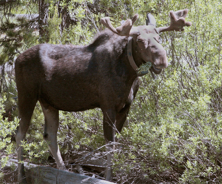 Bull Moose Near Jackson Lake Lodge.jpg