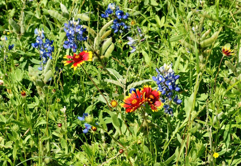Bluebonnets and  Indian Blankets