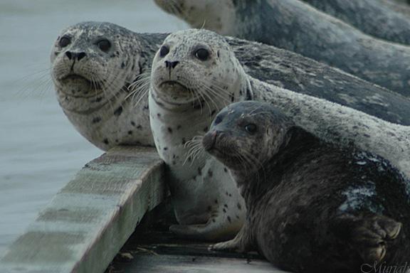 Wary Harbor Seals (12-20-05)