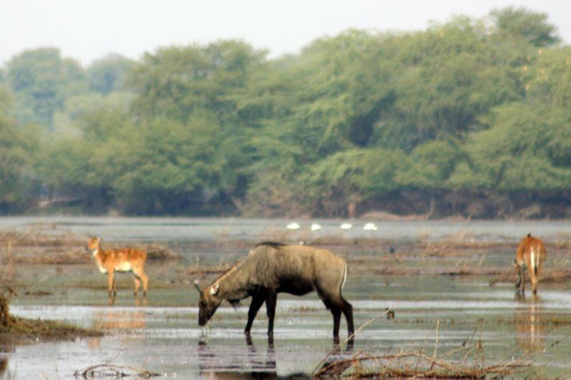 Nilgai grazing, Keoladeo National Park, India