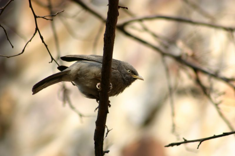 Then there were birds... Babbler, National Zoological Park, Delhi