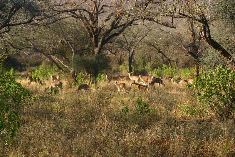 Nilgai, Sariska National Park, Rajasthan