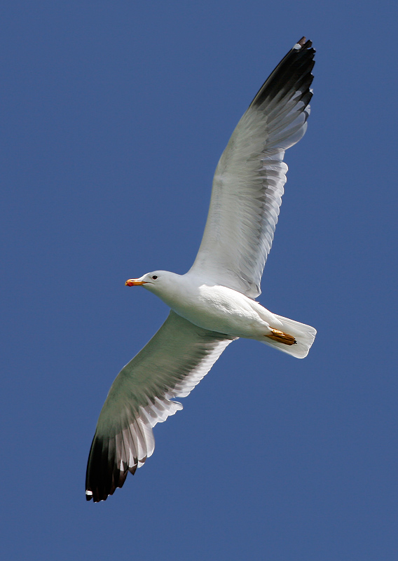 Armenian Gull at lake Sevan