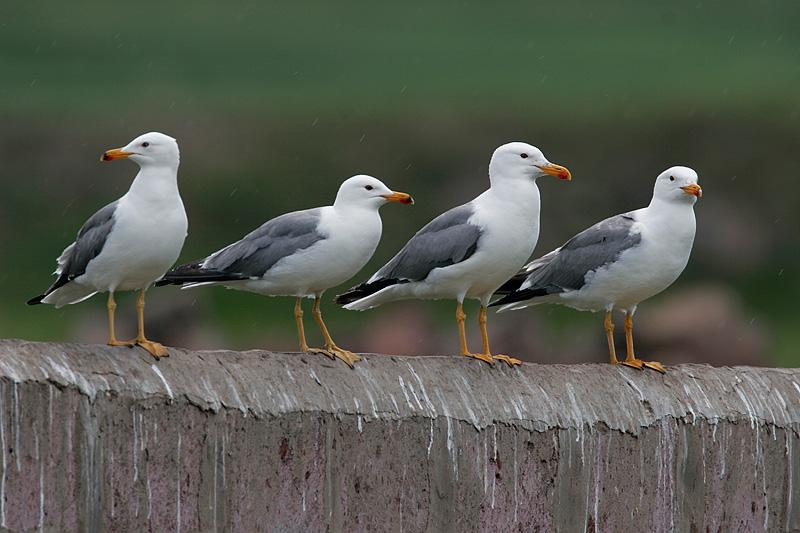 Armenian Gulls