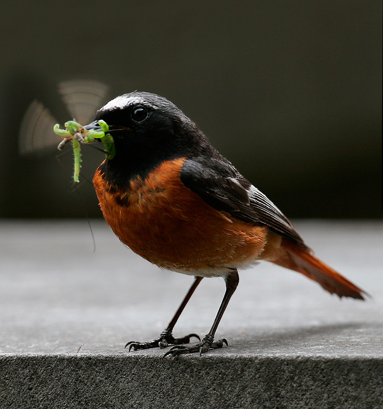 Redstart (Samamisicus) with living food - Armenia