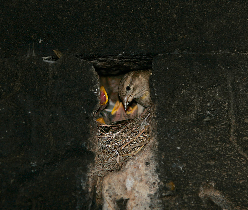 Rock Sparrow nesting in old church