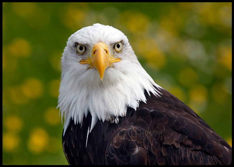 Bald Eagle (controlled conditions)