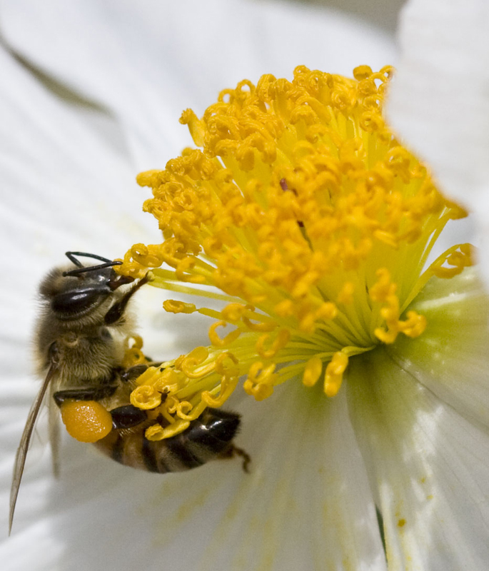 Honey Bee with plump Pollen Basket
