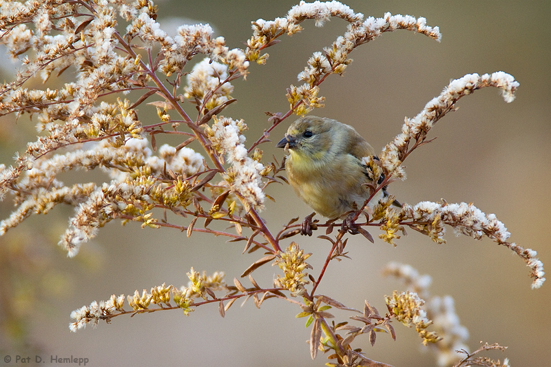 Feeding Goldfinch