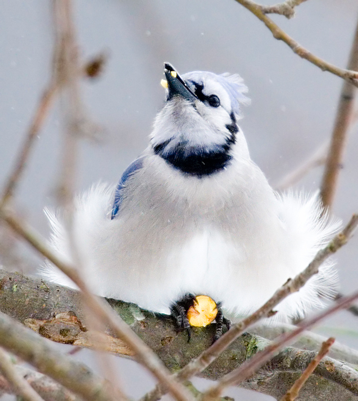 Blue Jay meal 1