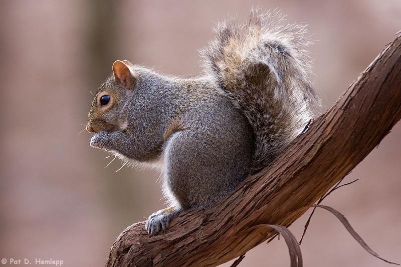 Squirrel on a vine