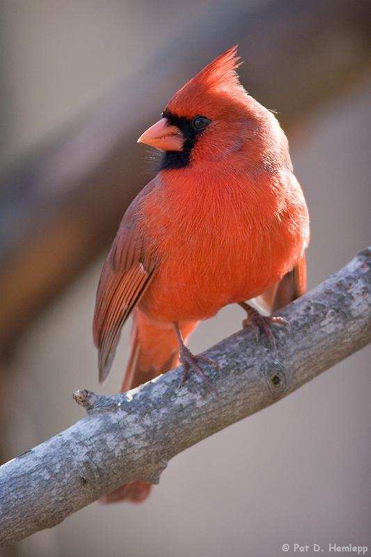 Cardinal gazing