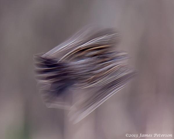 Female Redwinged Blackbird (24910)