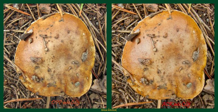 z DPP v ACR IMG_0032 Mushroom after heavy rain at SSE - acr into psd.jpg