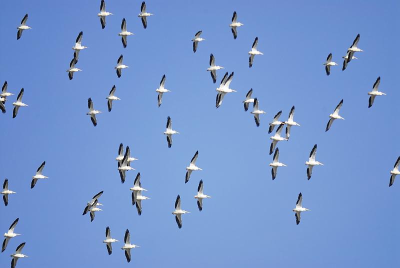 white pelican BRD8985.JPG