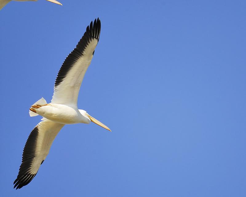 white pelican BRD8976.JPG