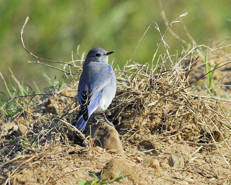 mountain bluebird BRD9168.JPG