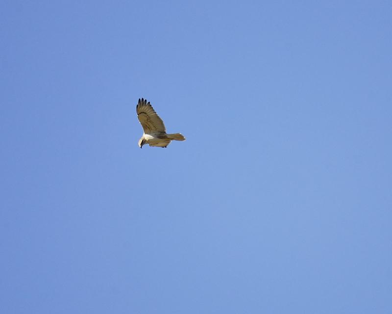 ferruginous hawk BRD9634.JPG