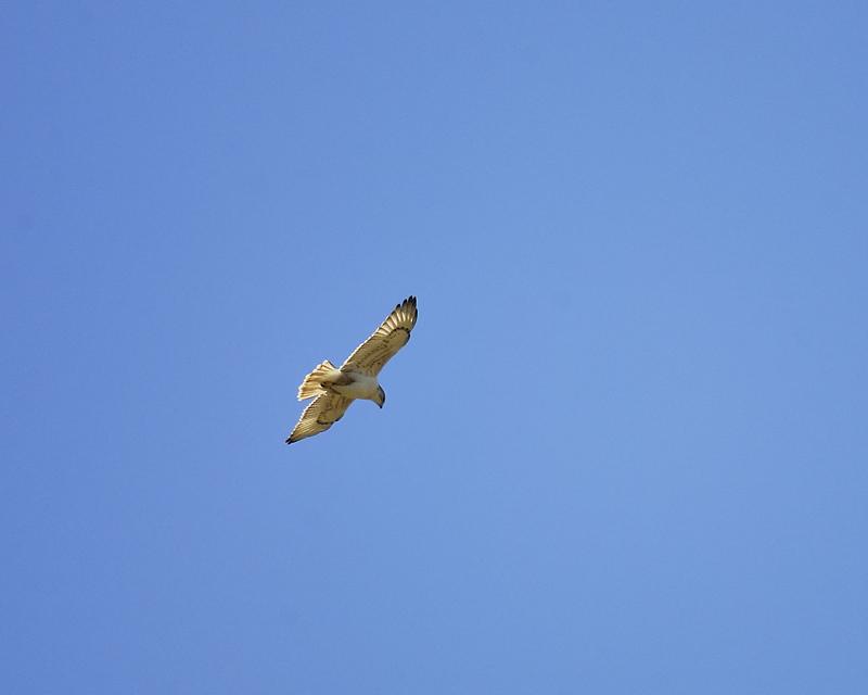 ferruginous hawk BRD9641.JPG
