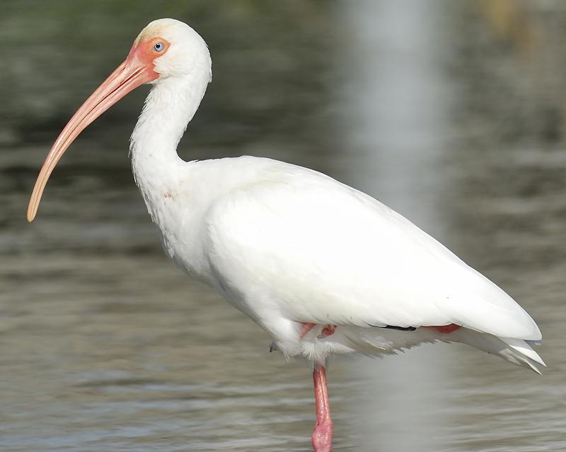 white ibis BRD9235.JPG