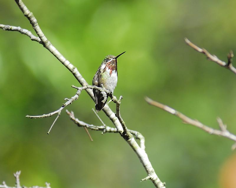 calliope hummingbird BRD9779.JPG