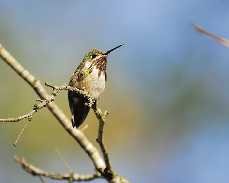 calliope hummingbird BRD9791.JPG