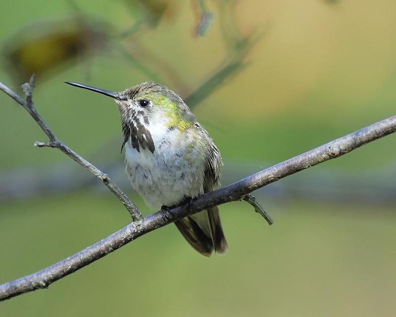 calliope hummingbird BRD9826.JPG