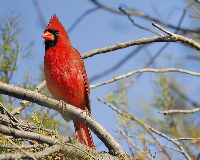 northern cardinal BRD9883.JPG