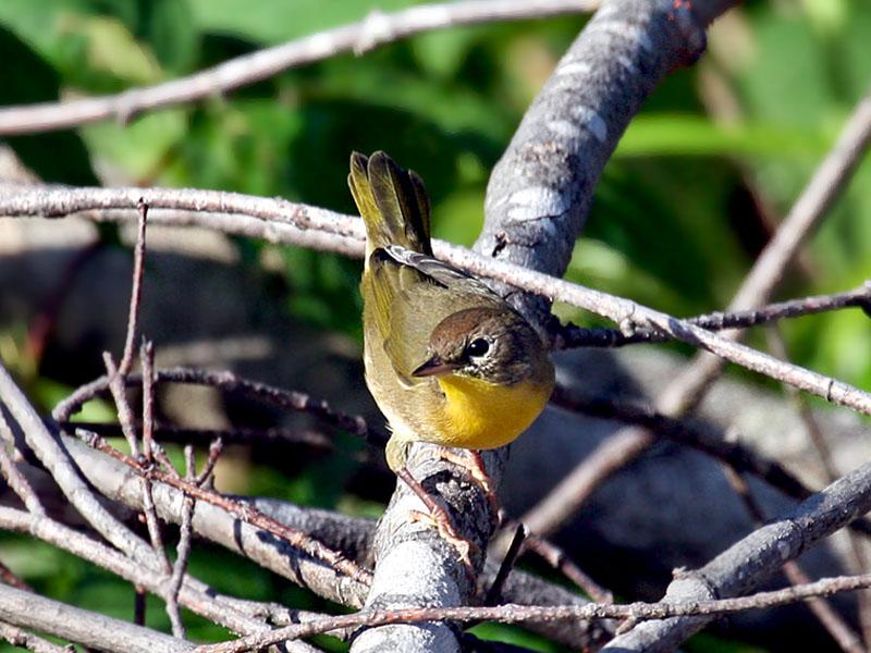 IMG_0100 Common Yellowthroat.jpg