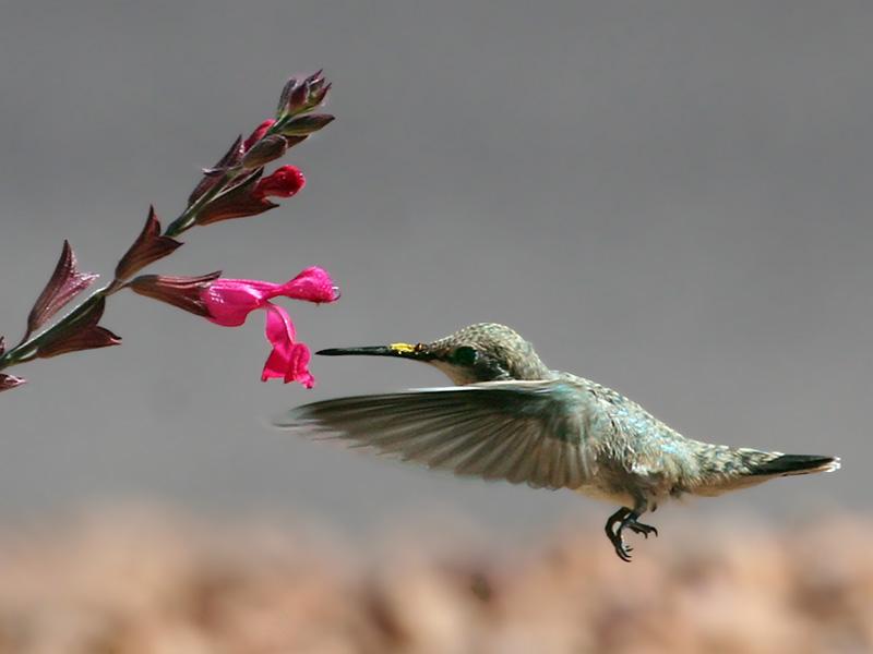 IMG_1791 Black-chinned Hummingbird .jpg