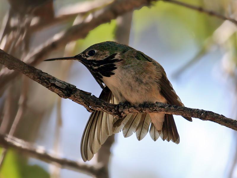 IMG_3515 Calliope Hummingbird.jpg