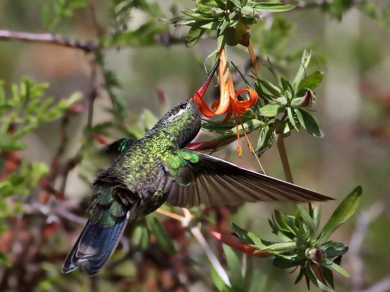 IMG_3357 Broad-billed Hummingbird.jpg